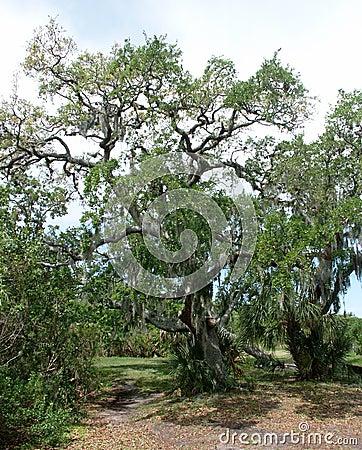 Live Oak moss