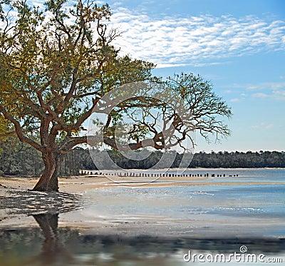 Live Oak on the Shore