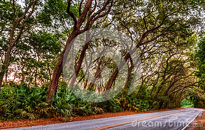 Live Oak Tree KLined Road