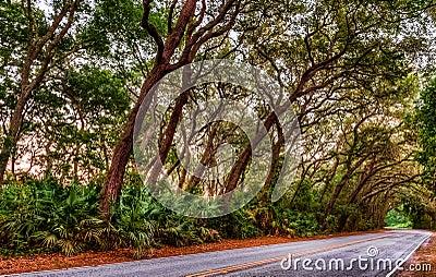 Live Oak Tree KLined Road