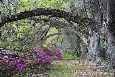 Live Oaks and colorful azalea