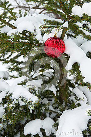 Live Real Christmas Tree, Snow, Single Red Ornament Decoration