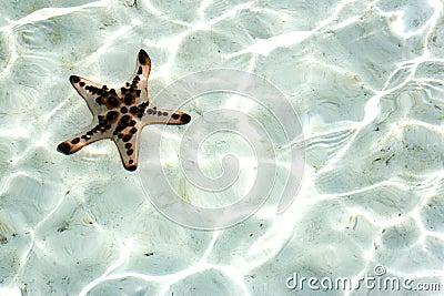 Live Starfish Underwater