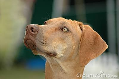 Liver nosed Rhodesian