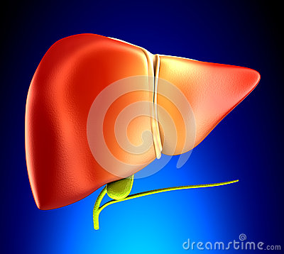 Liver Real Human Anatomy On Blue Background Stock ...