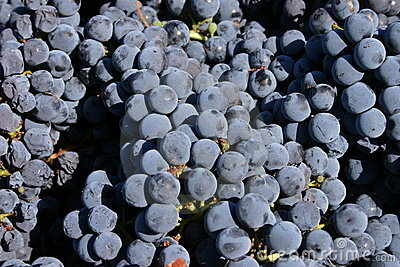 Livermore Grapes