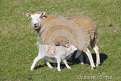 Livestock lamb on sheep