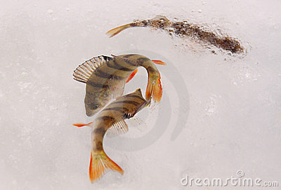 Living perch fish on ice
