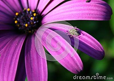 Livingtone Daisy with Spider