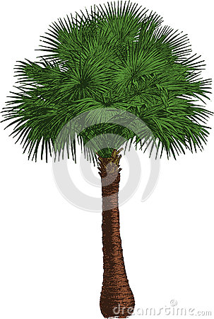 Livistona tree. Vector