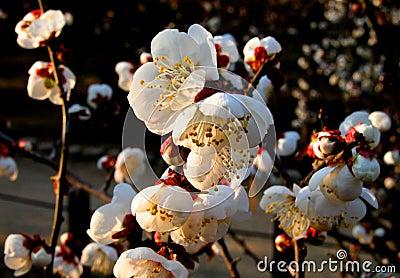 śliwkowego białe kwiaty