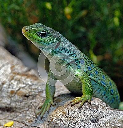 Free Lizard Royalty Free Stock Photos - 1341458