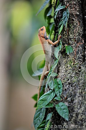 Free Lizard Stock Photography - 31485262
