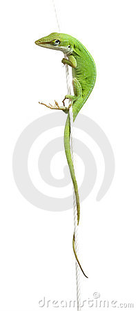 Free Lizard Stock Images - 4428634