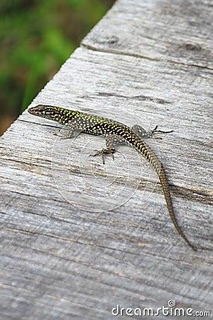 Free Lizard Royalty Free Stock Photography - 48384707