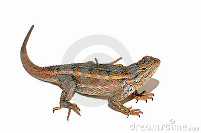Lizard Stock Photos - Image: 4892633