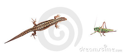Lizard against locust isolated on white background