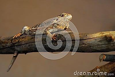 Lizard in balance