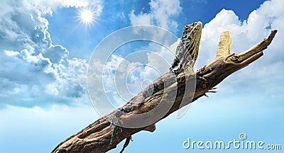 Lizard bathing under dry summer sun and blue sky