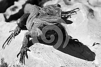 Lizard BW