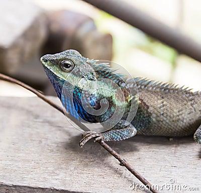 Lizard, Closeup
