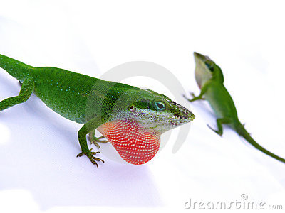 Lizard displaying red throat