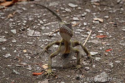 Lizard Facing Camera On Road Royalty Free Stock Photo - Image: 12437395