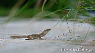 Lizard on the Ground