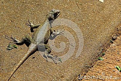 Lizard on the ground