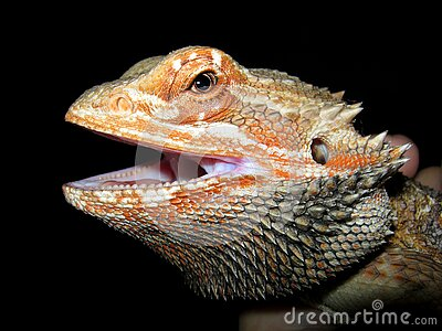 Lizard Head Free Public Domain Cc0 Image