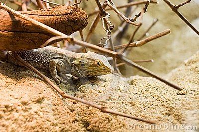 Lizard hiding under branch