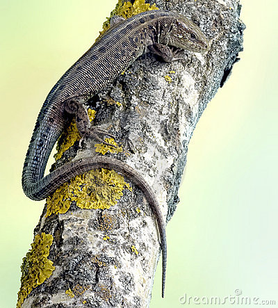 Lizard Lacerta agilis