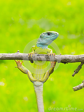 Free Lizard Lacerta Viridis Stock Photography - 76231222