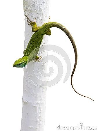 Free Lizard Lacerta Viridis Royalty Free Stock Image - 76232796