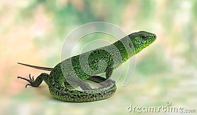 Lizard Lacerta viridis (European Green Lizard)