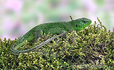 Lizard Lacerta viridis (European Green Lizard)