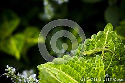 Lizard Leaf