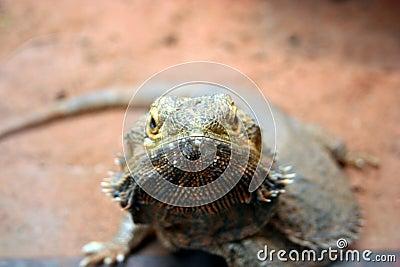 Lizard Looking