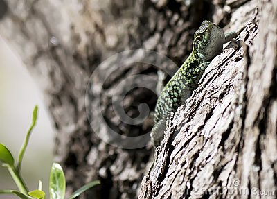 Lizard looking at you