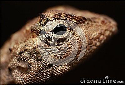 Lizard Macro Shot