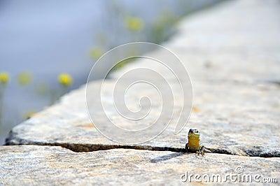 Lizard of Malta