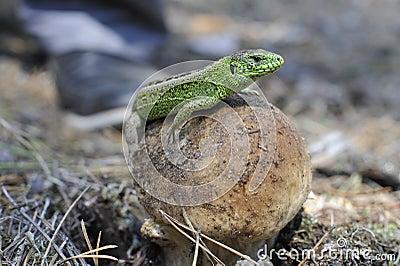Lizard and a mushroom