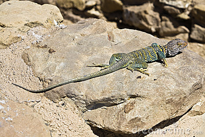 Lizard in New Mexico