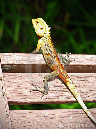 Free Lizard On A Wooden Chair Royalty Free Stock Photo - 19806305
