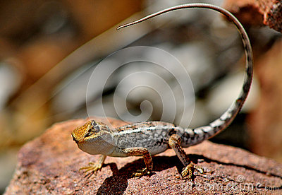 Lizard Outback Australia