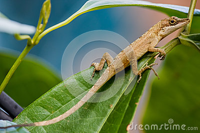 Lizard Over the Tree Leaf and Branch