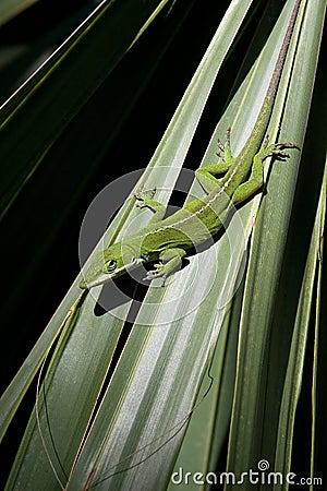 Lizard on Palmetto
