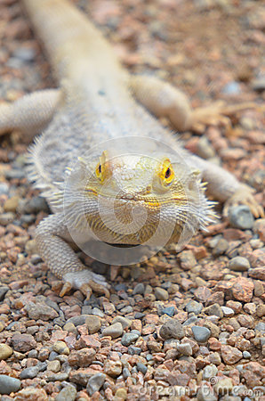 Free Lizard Portrait Royalty Free Stock Images - 30167249