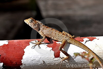 Lizard on the rail