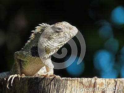 Lizard reptile basking in sunlight